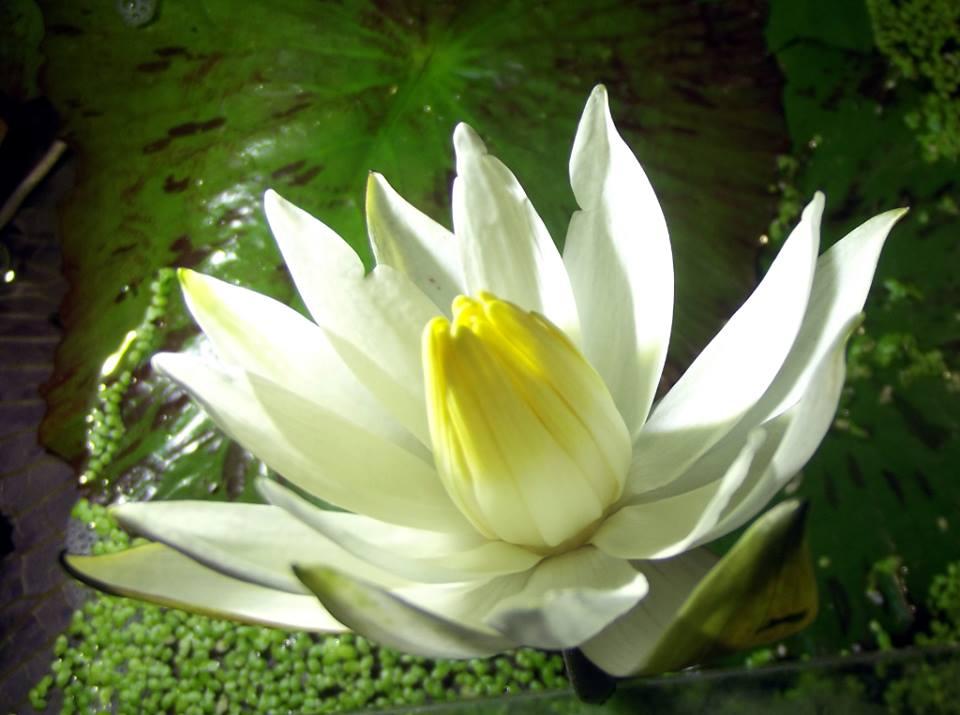lotos1
